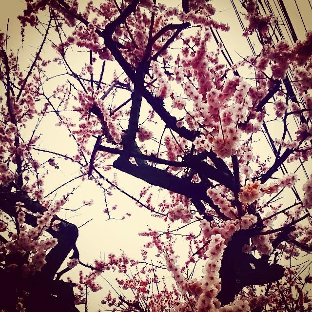 ウメハサイタガサクラハマダカ#東京#梅#桜#春
